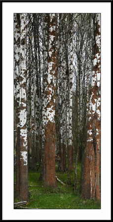 10x20 Black Framed Birch